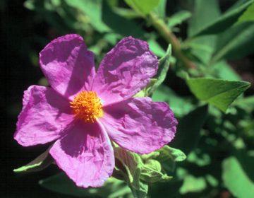roselha